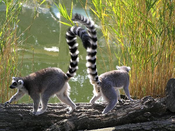 Two_Ring-Tailed_Lemurs_In_Captivity_600