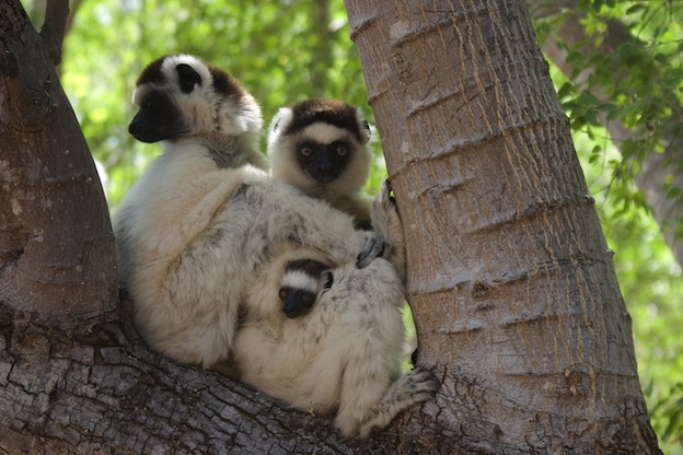 Information about Verreaux's sifaka