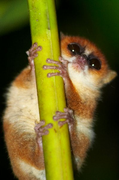 Wild_Mouse_Lemur_Clinging_To_a_Stalk_600