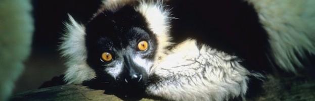 Anatomía del Lémur