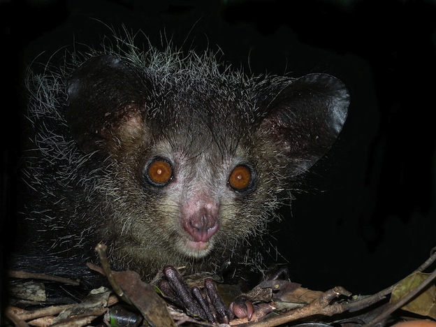 Aye aye, the world's largest nocturnal primate