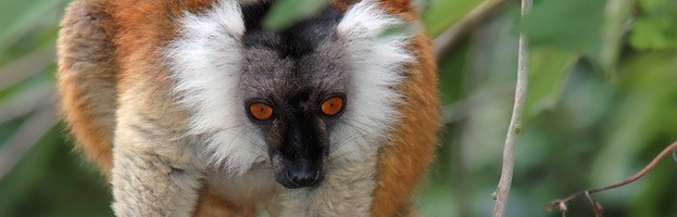Black Lemur