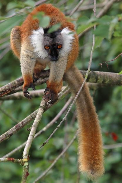 Black lemur characteristics