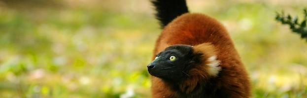 Conservación del Lémur