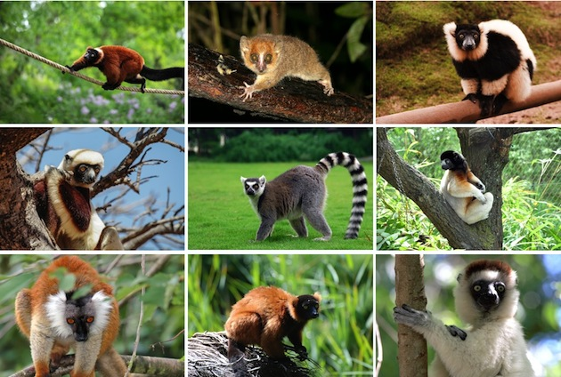 especies_lemur_624