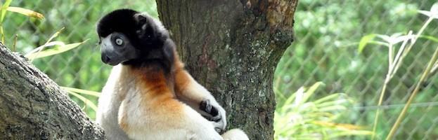 Facts about Lemurs