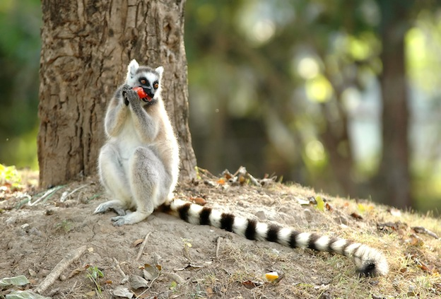 Hábitos alimenticios del lémur.