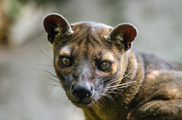 Enemigos naturales de los lémures.