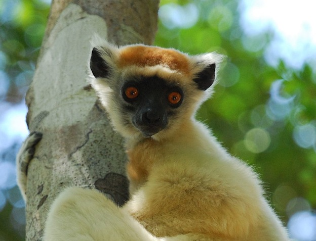 Golden Crowned Sifaka characteristics