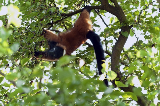 Lemur Habitat and Dist...