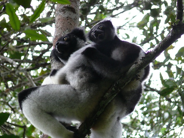 Indri Lemur, the largest lemur species