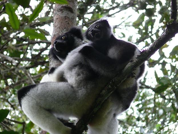 Indri Lemur, the largest lemur species