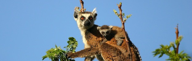 Lemur Information