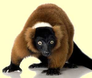 lemur_facts_2