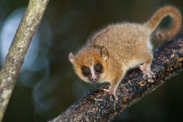 Características del pequeño lémur ratón gris.