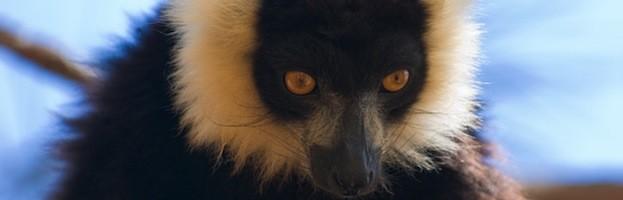 Imágenes de Lémures