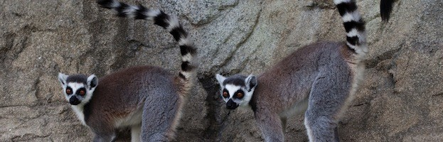 Lemurs in Popular Culture