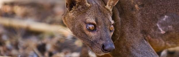 Depredadores del Lémur