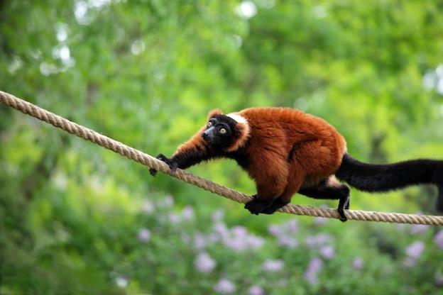 Red Ruffed Lemur characteristics