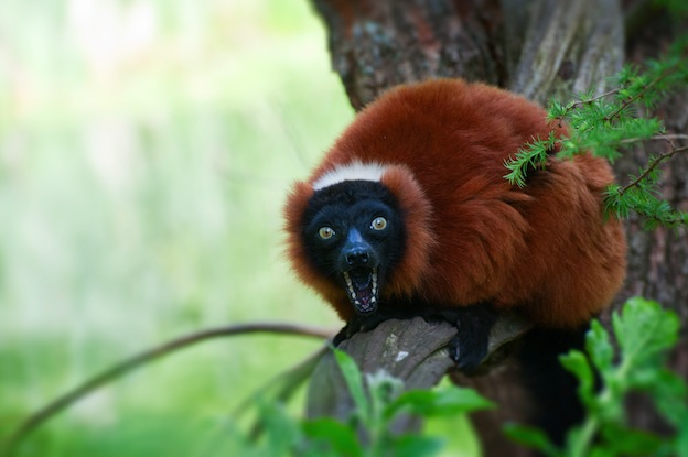 Red Ruffed Lemur, and endangered species