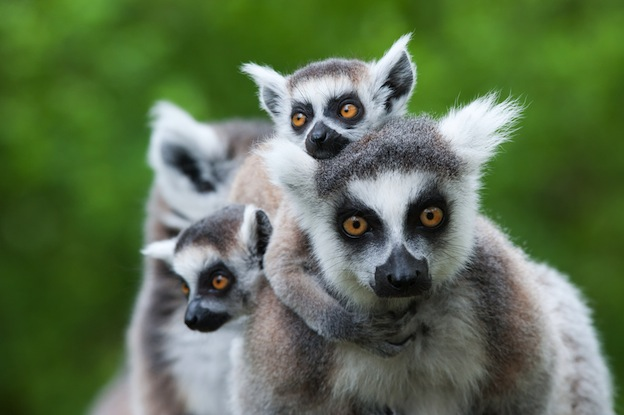 Lemur breeding