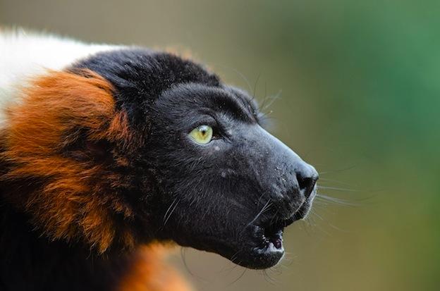 Descripción del lémur rufo rojo.