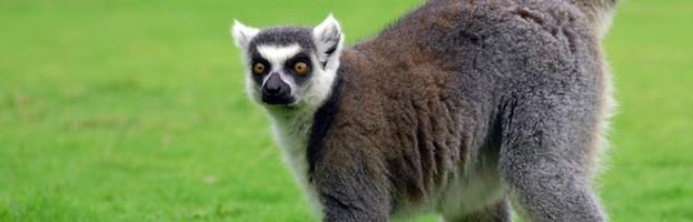 Lemur Senses