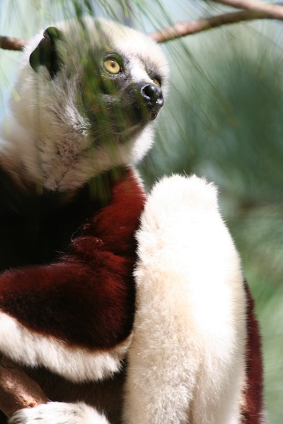 Coquerel's Sifaka Close up