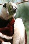 lemurien madagascar 2