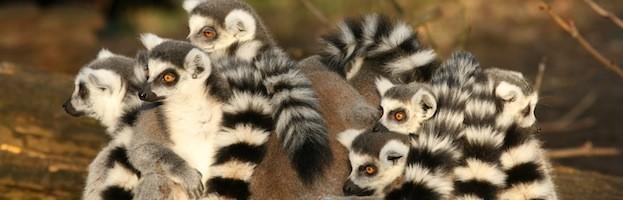 Lemur Social Structure