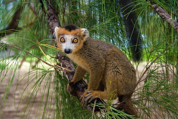 Lemur Species Overview