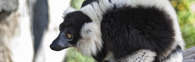 Lemur Species