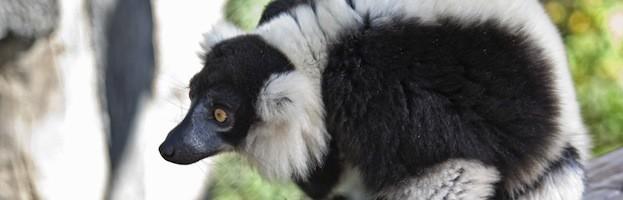 Especies de Lémur