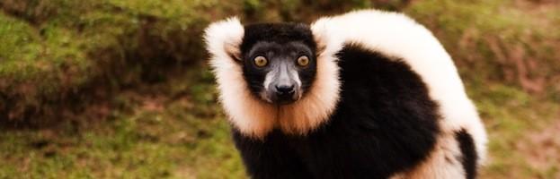 Types of Lemurs