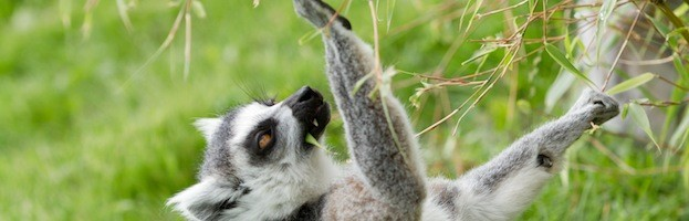 Lemur Use of Tools