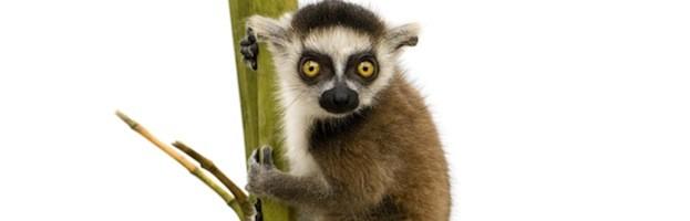 Lemur Videos